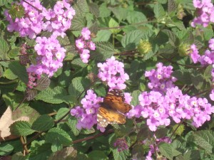 1 butterfly on lilac bush closeup